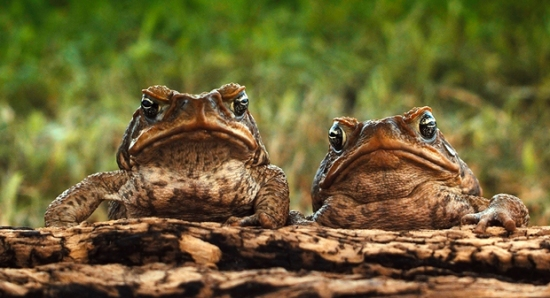 Two-cane-Toads